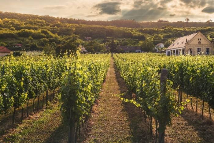vineyard-background-for-virtual-wine-tasting-party